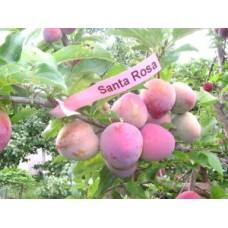 Санта Роза